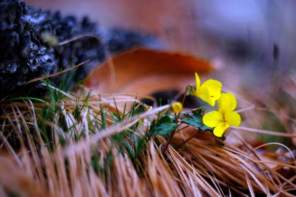 노란제비꽃17 2.jpg